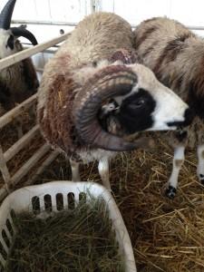 Atlas. The ram who provided the jacob fiber I bought